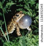 american toad  anaxyrus... | Shutterstock . vector #1136552345