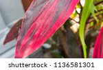 red leaf background stock photo   Shutterstock . vector #1136581301