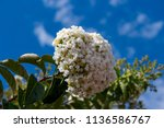 magnificent purest white... | Shutterstock . vector #1136586767