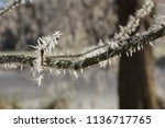 detail of twigs and branches... | Shutterstock . vector #1136717765