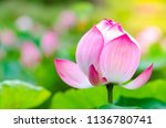 Pink Lotus Flower. The...