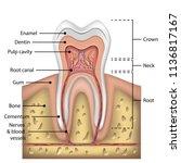 Tooth Anatomy Infographics....