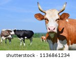 cows  on a summer pasture | Shutterstock . vector #1136861234