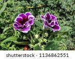 gloxinia  sinningia speciosa ... | Shutterstock . vector #1136862551