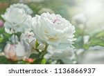 Stock photo white flower peony flowering on background white peonies flowers nature 1136866937