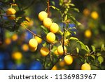 yellow mirabelle plums. ripe... | Shutterstock . vector #1136983967