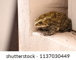 the common toad  near the house ... | Shutterstock . vector #1137030449