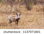 common warthog in kruger... | Shutterstock . vector #1137071801