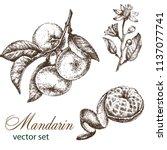 hand drawn vintage mandarin... | Shutterstock .eps vector #1137077741