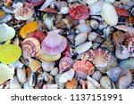 many colorful seashells | Shutterstock . vector #1137151991