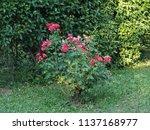 small shrub  rosebush.