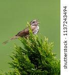 bird singing song   song... | Shutterstock . vector #1137243494