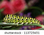 Beautiful black swallowtail caterpillar on stalk of dill in natural setting with flower garden in soft focus in background.  Macro with extremely shallow dof. - stock photo
