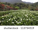 Tropical valley with calla lily flowers - stock photo