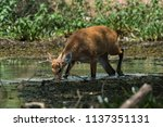 marsh deer  pantanal brazil   Shutterstock . vector #1137351131