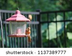 young northern cardinal... | Shutterstock . vector #1137389777
