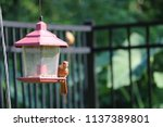 young northern cardinal... | Shutterstock . vector #1137389801