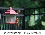 young northern cardinal... | Shutterstock . vector #1137389804