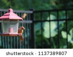 young northern cardinal... | Shutterstock . vector #1137389807