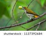 beautiful bird  yellow vented...   Shutterstock . vector #1137392684