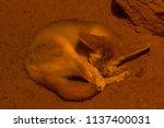 bat eared fox in the zoo is... | Shutterstock . vector #1137400031
