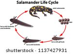 salamander life cycle concept... | Shutterstock .eps vector #1137427931