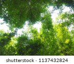 look up view in bamboo forest... | Shutterstock . vector #1137432824