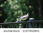blue jay songbird  perched on... | Shutterstock . vector #1137442841