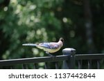 blue jay songbird  perched on... | Shutterstock . vector #1137442844
