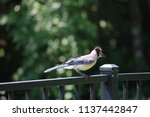 blue jay songbird  perched on... | Shutterstock . vector #1137442847
