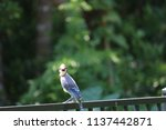 blue jay songbird  perched on... | Shutterstock . vector #1137442871