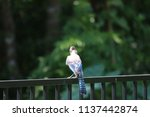 blue jay songbird  perched on... | Shutterstock . vector #1137442874