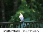 blue jay songbird  perched on... | Shutterstock . vector #1137442877