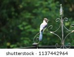 blue jay songbird  perched on... | Shutterstock . vector #1137442964