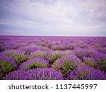 beautiful lavender field on... | Shutterstock . vector #1137445997