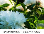 decorative peony flower of... | Shutterstock . vector #1137447239