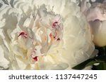 decorative peony flower of... | Shutterstock . vector #1137447245