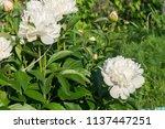 decorative peony flower of... | Shutterstock . vector #1137447251