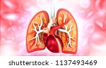 anatomy of the heart and lungs. ... | Shutterstock . vector #1137493469