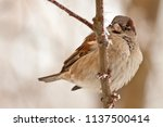 frozen sparrows. fluff feathers ... | Shutterstock . vector #1137500414