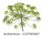 umbel of dill weed on the white ... | Shutterstock . vector #1137565067