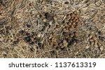 healthy wild rabbit feces ... | Shutterstock . vector #1137613319