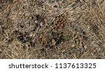 healthy wild rabbit feces ... | Shutterstock . vector #1137613325