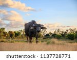 Small photo of A Curious Carabao on Open Field