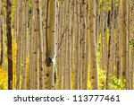 Thick Forest Of Golden Aspen...
