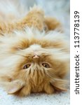 Purebred Red Persian Cat...