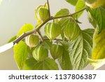 Physalis Peruviana With Fruits...