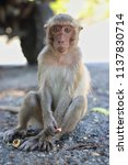 close up portrait of monkey on... | Shutterstock . vector #1137830714