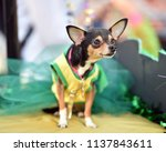chihuahua puppy dressed up in a ...   Shutterstock . vector #1137843611