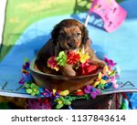 chihuahua puppy dressed up in a ...   Shutterstock . vector #1137843614